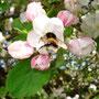 Boskopblüte mit Hummeli