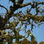 alter Zwetschgenbaum mit Moos überwachsen dient als Insekten und Vogelhotel