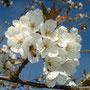 Kirschblüte mit Biene 09.04.2014