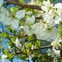 gelbe Pflaumen Blüten 14.04.2014