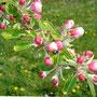 Apfelblüte Boskop 14.04.2014