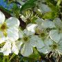gelbePflaumen Blüten 14.04.2014