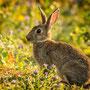 Wildes Kaninchen