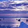 Arktische Schwäne
