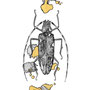 -Title: Nijimi Longicorn beetle -Size: H149xW105 -Material: Pigment ink, Gold foil, Dye ink on Illustration board