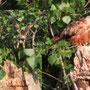 Rotmilan in den Kämpen. 18 Juni 2021