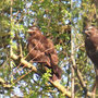 Bussard - Greifvogel. In den Bb-Ub. Kämpen. 16 April 2019