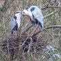 Reiherpaar im Nest. In den Kämpen. 11 März 2020