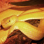 trimeresurus mc gregory