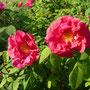"Rosa gallica  ""lobb"""