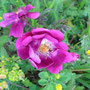 Rosa pimpinellifolia 'William II