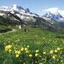 フランスとスイスの国境「バルムのコル」はシャモニでも特に花の多いポイント。
