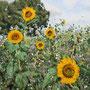 Sonnenblumen bei Rheurdt, 1999, 40x50cm