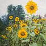 Sonnenblumen am Vluynbusch, 2002, 50x40cm