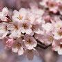 桜満開(4月始め)