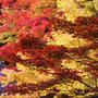 赤に黄色に色づくもみじ(永源寺)