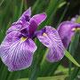 花曇(ハナショウブ)赤紫色