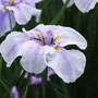 薄紫(ハナショウブ)