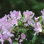 うすいピンクの細い花びらのツツジ