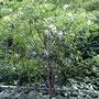 ナツツバキの木(沙羅の木)