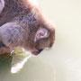水を飲むニホンザル