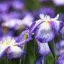 滋賀の浦波(ハナショウブ紫色)