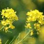 菜の花の堤防