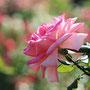 ピンクの秋バラ