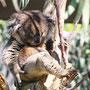 足をあげて寝ているコアラ(天王寺動物園の「アーク」)