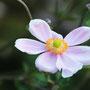 シュウメイギクの花(淡いピンク)