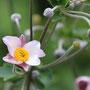 咲き始めのシュウメイギク(淡いピンク)