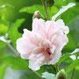 八重のムクゲ(薄いピンク)