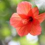 ムクゲとアオイ科の花