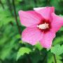 濃いピンクのムクゲ