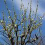 関白の枝(幹が上に伸びる)