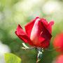 バラの花畑