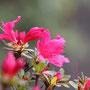 キリシマツツジ(濃いピンク)