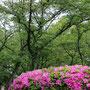 ヒラドツツジの咲く森