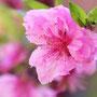 モモの花(4月)