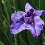 伊勢千歳(ハナショウブ)紫色