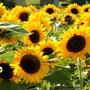 Sonnenblumen, Stängelmark, Kerne, Blätter