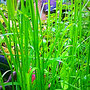 duftendes Mariengras  (Hierochloe odorata)                                      ©  I-Geusen 2015