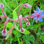 Borretschblüte   (Borego officinalis)                                             ©  I-Geusen 2015