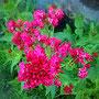 Spornblume (Centranthus ruber)           © I-Geusen 2015