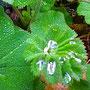 Frauenmantel (Alchemilla vulgaris)                                                           ©  I-Geusen 2015