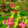 Apfelbaumblüte (Malus domestica)                                                              ©  I-Geusen 2015