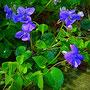 Duftveilchen (Viola odorata)                                     ©  I-Geusen 2015