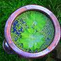 Frauenmantelblatt  (Achemilla vulgaris)                                                   ©  I-Geusen 2015
