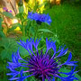Berg-Flockenblume  (Centaurea montana)                            ©  I-Geusen 2015