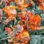 Amsterdam Tulpen